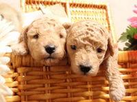 当店の交配犬の中で引退した子たちの里親募集をします。